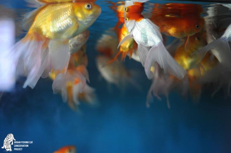 FI_Fishing-cat-fish_Anya-Ratnayaka