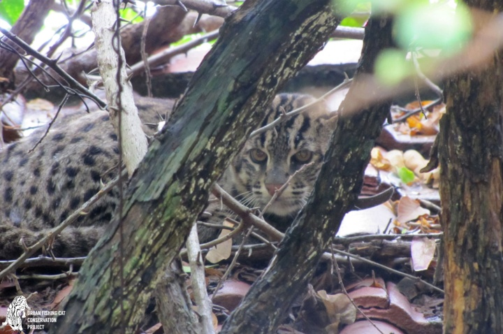 Fi, Fy, Fo, Fishing Cat?