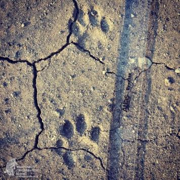 Endangered-cats-endangered-lands4_AR