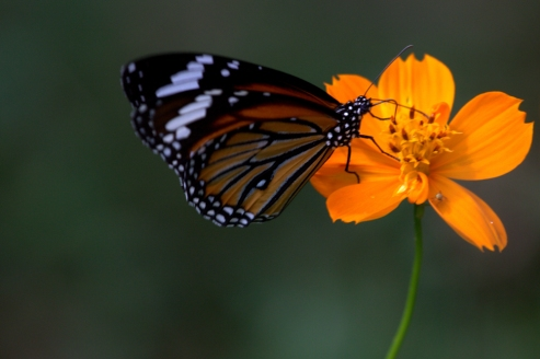 Common Tiger (Danaus genutia). Photograph by Shanelle Wikramanayake