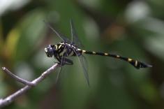 Rapacious Flangetail (Ictinogomphus rapax). Photograph by Shanelle Wikramanayake