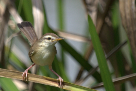 Clamorous Reed Warbler (Acrocephalus stentoreus). Photograph by Shanelle Wikramanayake