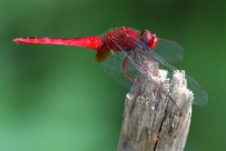 Oriental Scarlet (Crocothemis servilia servilia). Photograph by Shanelle Wikramanayake
